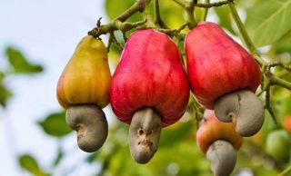 How Cashew Apple Juice Helps in Burning Fat?